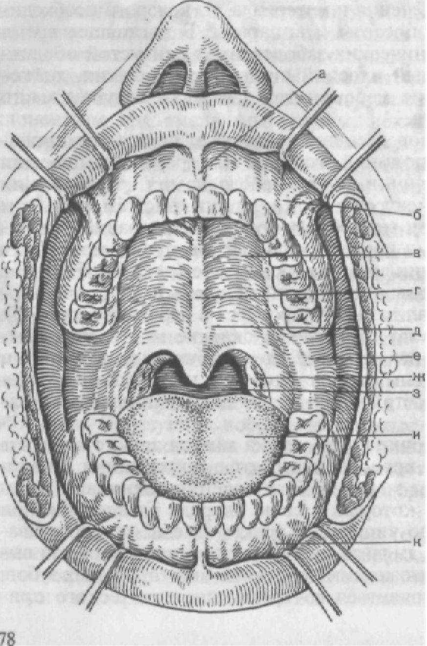 рисунок полости рта человека считается сравнительно