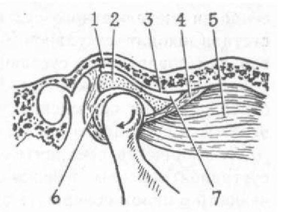 ...нижнего отдела сустава обращены суставная головка и нижняя.