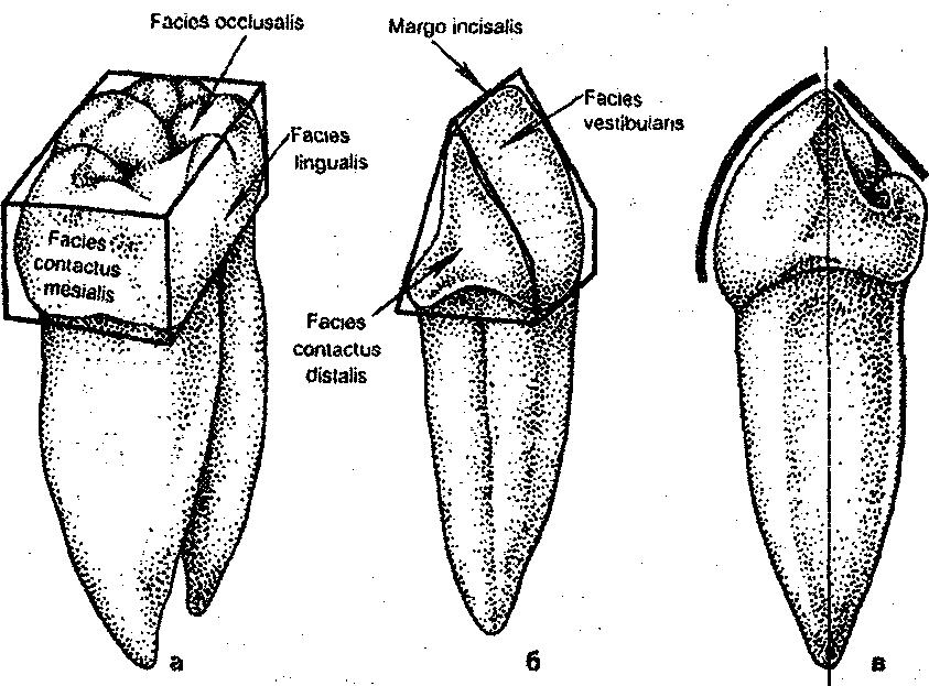 данной поверхности зуба на