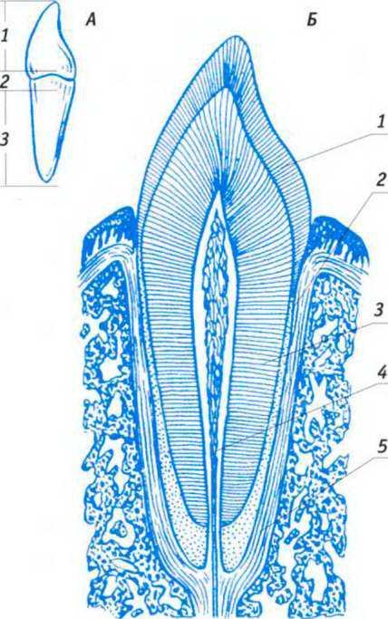 Рисунок 1. Строение зуба